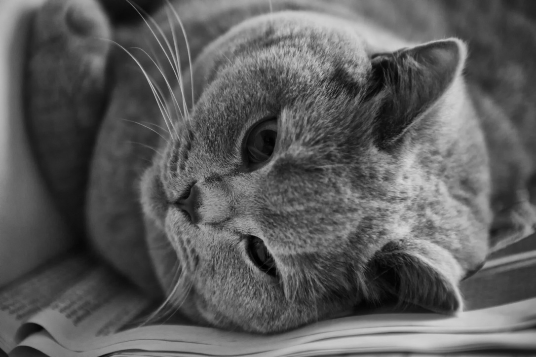 cat-british-shorthair-thoroughbred-adidas-162064.jpeg